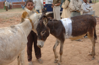 Work Camp Bhatta Donkey