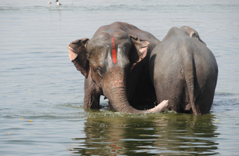 Elephants Jamuna